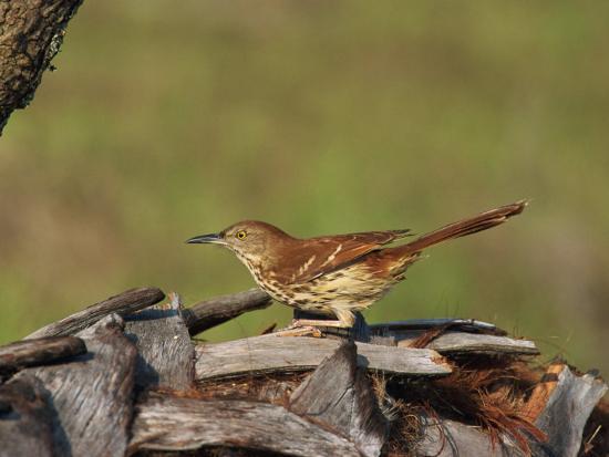 rainford-roy-brown-thrasher-south-florida-united-states-of-america-north-america
