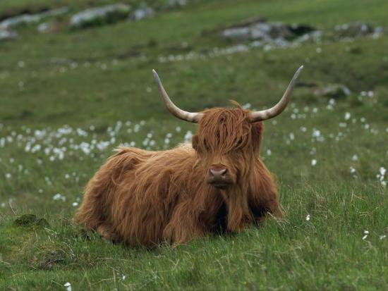 rainford-roy-highland-cattle-isle-of-mull-scotland-united-kingdom-europe