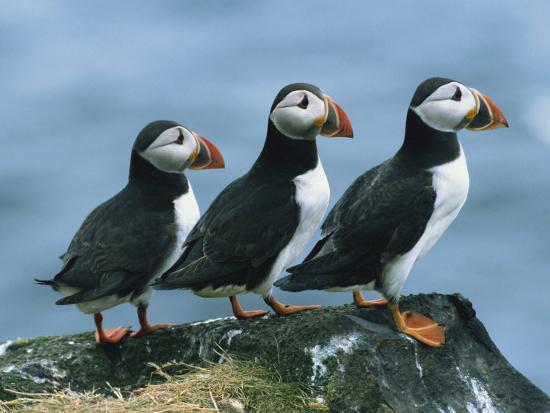 rainford-roy-three-puffins-on-rock-craigleath-island-east-lothian-scotland-united-kingdom-europe