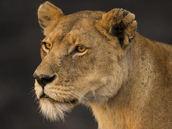 ralph-h-bendjebar-africa-tanzania-african-lioness-serengeti-national-park