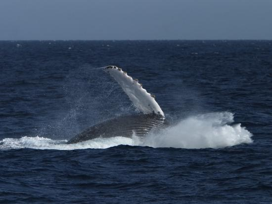 ralph-lee-hopkins-a-breaching-humpback-whale-in-the-sea-of-cortez