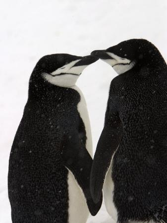 ralph-lee-hopkins-a-pair-of-chinstrap-penguins-in-a-courtship-cuddle