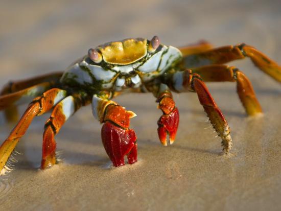 ralph-lee-hopkins-a-sally-lightfoot-crab-crawls-along-the-sandy-shore