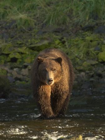 ralph-lee-hopkins-a-serious-looking-brown-bear-crossing-a-stream