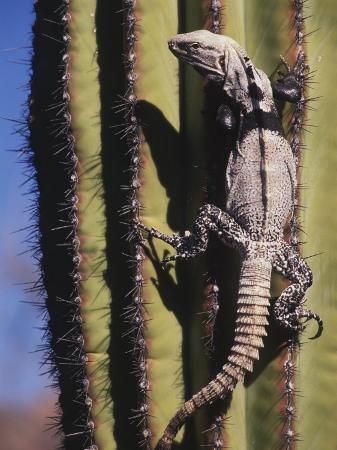 ralph-lee-hopkins-a-spiny-tailed-iguana-climbing-a-cardon-cactus