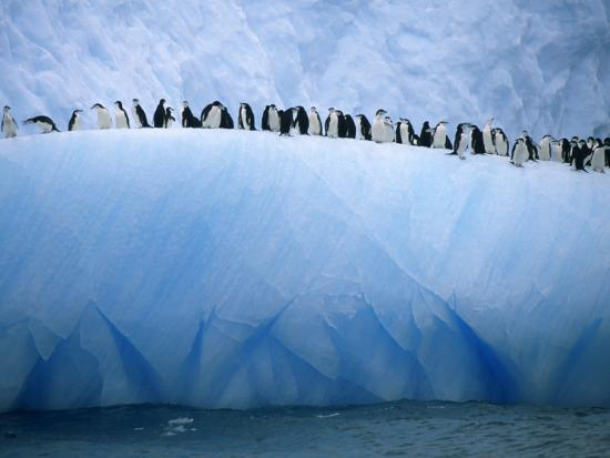 ralph-lee-hopkins-chinstrap-penguins-lined-up-along-a-blue-iceberg