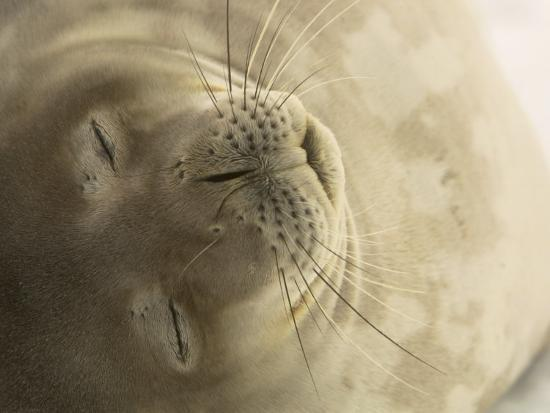 ralph-lee-hopkins-close-view-of-the-face-of-a-napping-weddell-seal