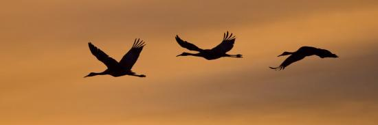 ralph-lee-hopkins-silhouetted-sandhill-cranes-flying-at-sunrise-along-the-rio-grande