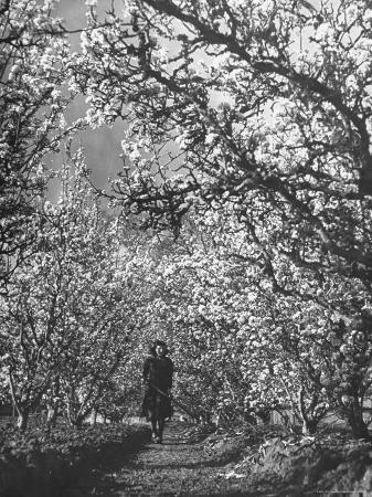 ralph-morse-woman-walking-among-pear-trees-in-full-bloom