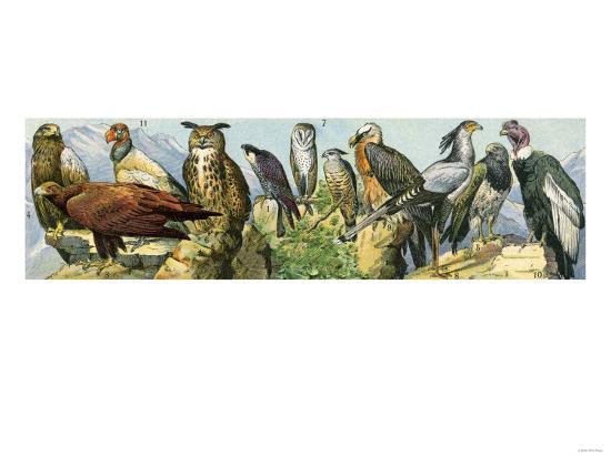 raptors-eagle-owls-a-condor-and-other-birds-of-prey