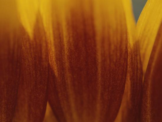 raul-touzon-a-close-view-of-the-petals-of-a-sunflower