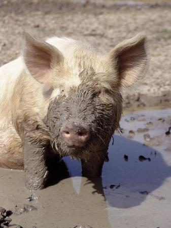 ray-hendley-close-up-of-muddy-pig-in-puddle
