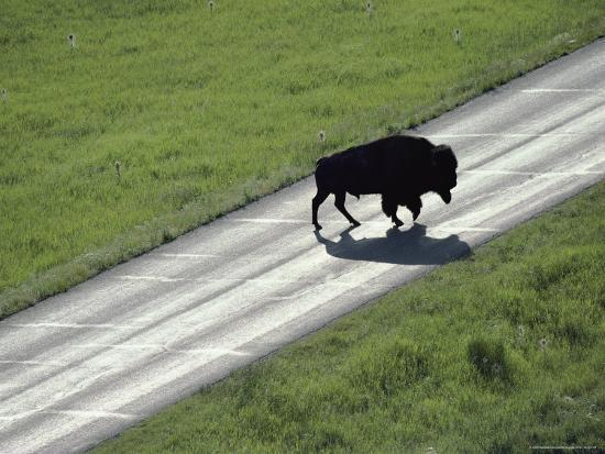 raymond-gehman-a-bison-bull-ambles-across-lamar-valley-road
