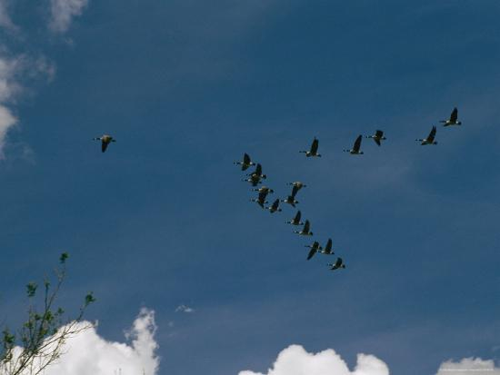 raymond-gehman-a-flock-of-canada-geese-fly-in-formation-above-wade-island