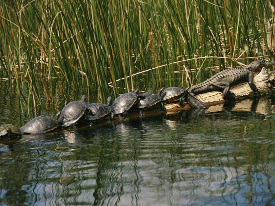 raymond-gehman-a-group-of-aquatic-turtles-and-an-american-alligator-bask-on-a-log