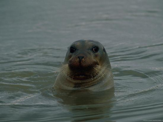 raymond-gehman-a-seal-pokes-its-head-out-of-the-water