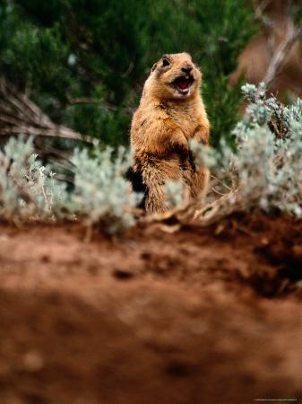raymond-gehman-a-utah-prairie-dog-vocalizing-in-bryce-canyon-national-park-utah
