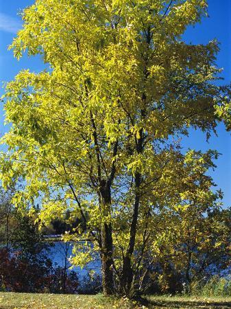 raymond-gehman-an-oak-tree-in-early-fall-foliage-stands-on-the-edge-of-falcon-lake