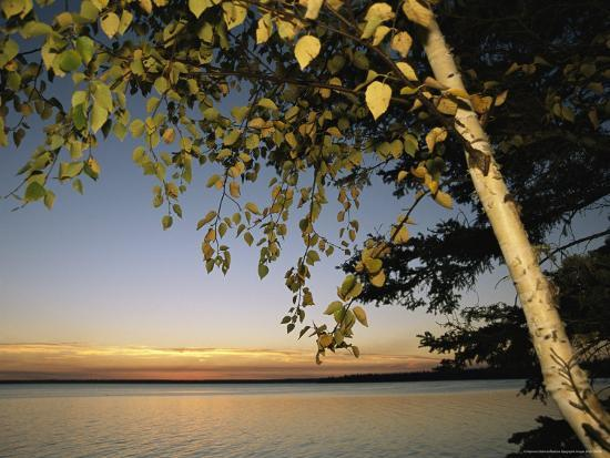 raymond-gehman-birch-tree-leaves-highlighted-at-sunset-on-clear-lake