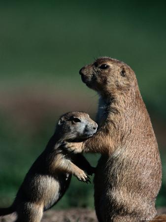 raymond-gehman-black-tailed-prairie-dogs-cynomys-ludovicianus