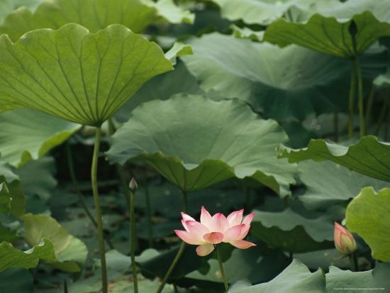 raymond-gehman-blooming-lotus-water-lily-flower