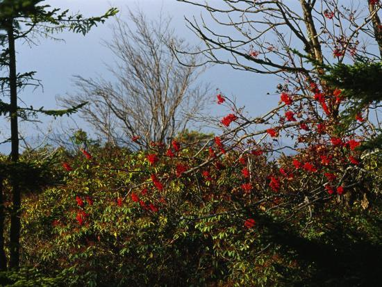raymond-gehman-branch-with-red-berries-among-mountain-laurel-and-leafless-trees