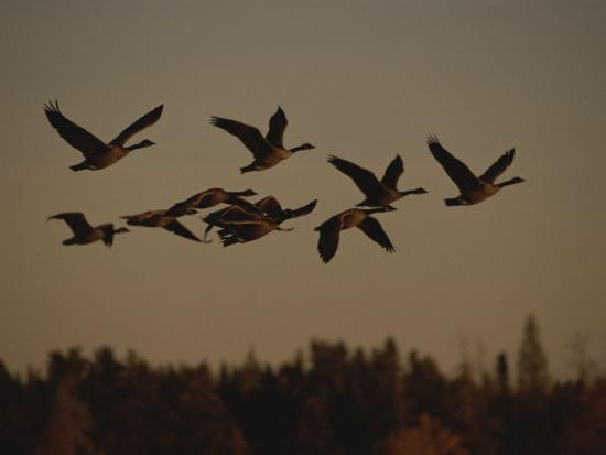 raymond-gehman-canada-geese-fly-in-a-group-through-a-goose-sanctuary