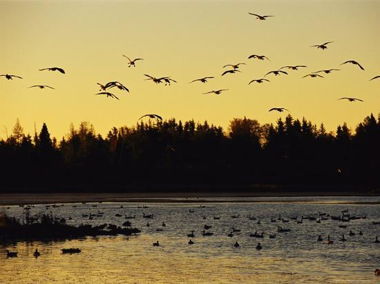 raymond-gehman-flock-of-geese-flies-over-a-manitoba-lake-at-sunset