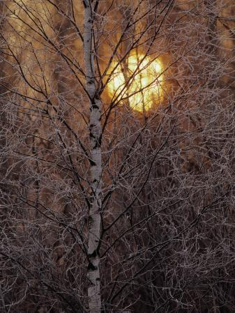 raymond-gehman-frost-covered-white-birch-trees-with-the-sun-rising-behind