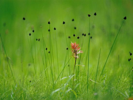 raymond-gehman-paintbrush-wildflower-yellowstone-national-park-wyoming