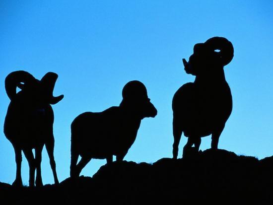 raymond-gehman-silhouettes-of-a-trio-of-bighorn-rams