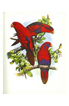 red-and-blue-lory-no-53