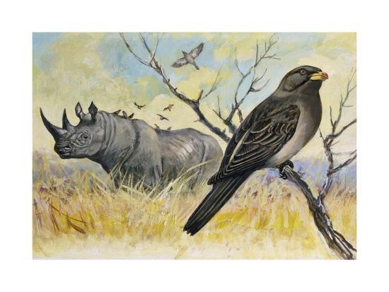 red-billed-oxpecker-buphagus-erythrorhynchus-sturnidae-and-rhinoceros