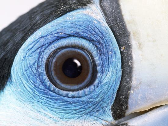 red-billed-toucan-close-up-of-eye