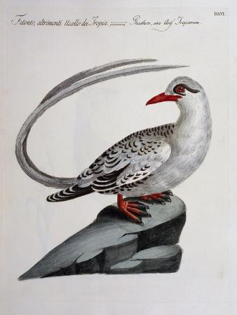 red-billed-tropicbird-phaethon-aethereus-coloured-from-history-of-birds-1767-table-516