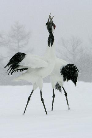 red-crowned-crane-pair-displaying-necks-intertwined
