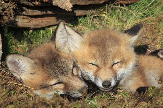 red-fox-7-week-old-cubs-sleeping