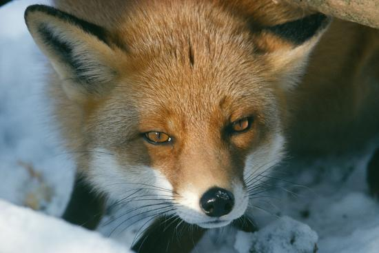red-fox-close-up-in-the-snow