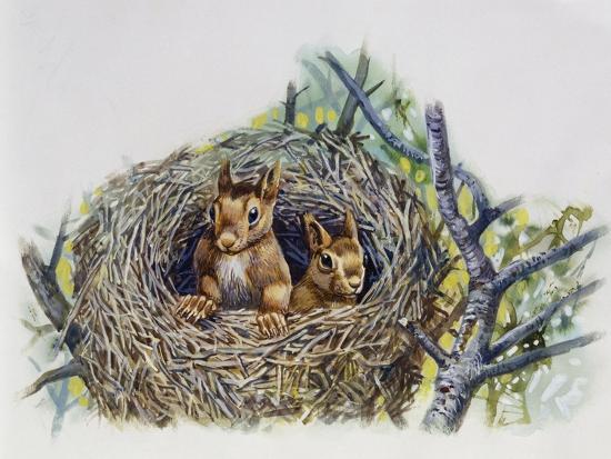 red-squirrels-sciurus-vulgaris-in-drey-sciuridae