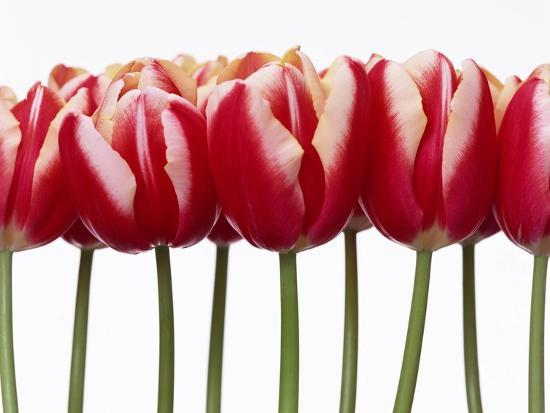 red-tulips-close-up-white-background