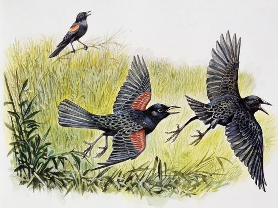 red-winged-blackbird-agelaius-phoeniceus-icteridae