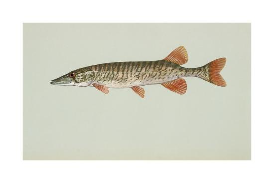 redfin-pickerel