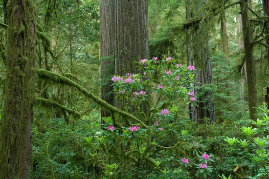 redwood-trees-and-rhododendron-flowers-in-a-forest-jedediah-smith-redwoods-state-park