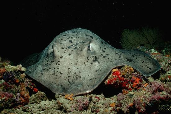 reinhard-dirscherl-black-spotted-stingray-taeniura-meyeni
