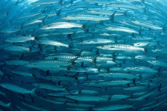 reinhard-dirscherl-blackfin-barracuda-sphyraena-qenie-pacific-ocean