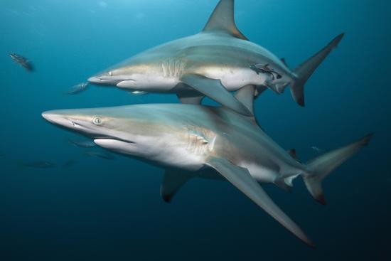 reinhard-dirscherl-blacktip-sharks-carcharhinus-limbatus