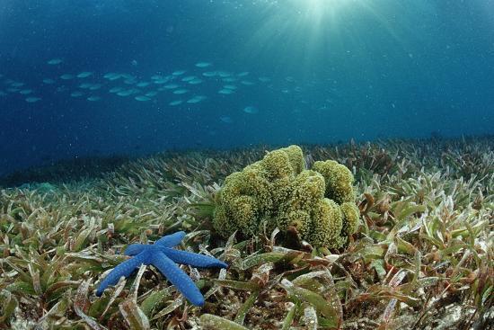 reinhard-dirscherl-blue-starfish-linckia-corals-and-sea-grass-indonesia-sulawesi-indian-ocean