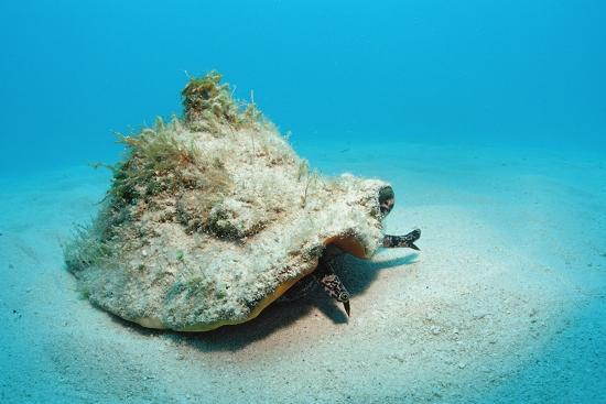 reinhard-dirscherl-conch-active-on-the-sandy-ocean-floor-strombus-gigas-bahamas-atlantic-ocean-r-n