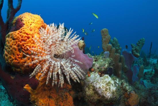 reinhard-dirscherl-fan-worm-spirographis-spallanzanii-and-sponges-on-a-coral-reef