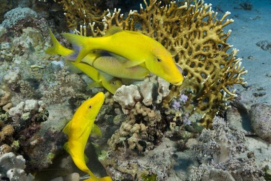 reinhard-dirscherl-goldspotted-goatfish-parupeneus-cyclostomus